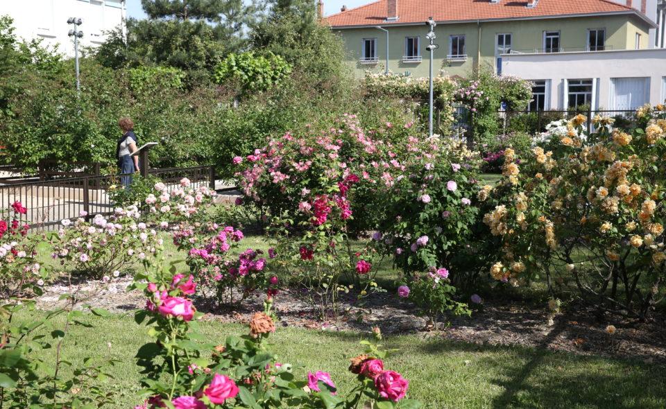 Rosiers en fleur dans Vénissieux: Square Pernet-Ducher
